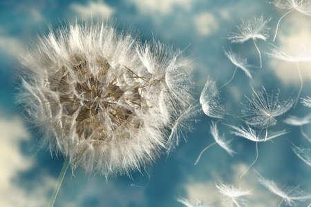 Las semillas de diente de león perder en el viento se llevó