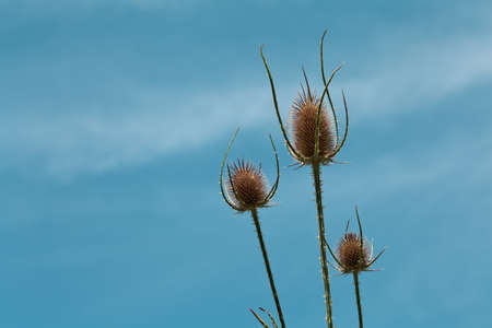 Dry thistle flowerhead whit blue sky photo