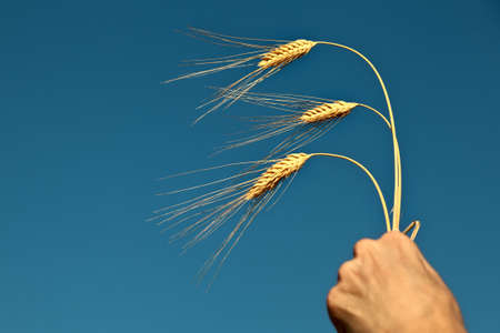 Wheat ears in the hand on the blue sky background photo