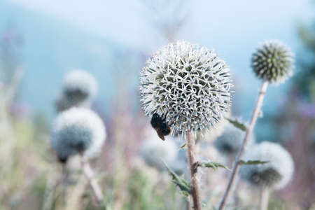 close up of a bee eats a thistle photo