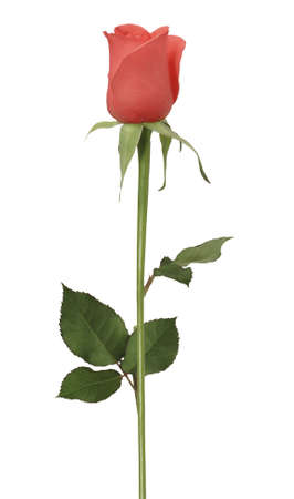 single rose Stock Photo
