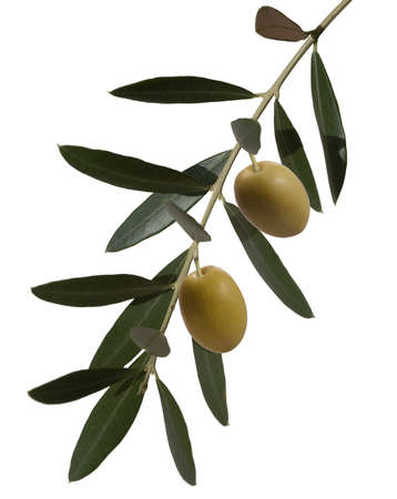rama de olivo: rama de olivo Foto de archivo