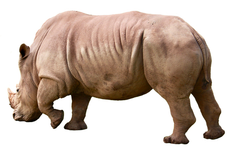 A white african rhinoceros, ceratotherium simum, isolated on white background