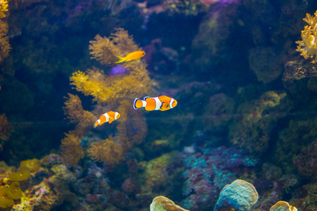 Small clownfish in a aquarium