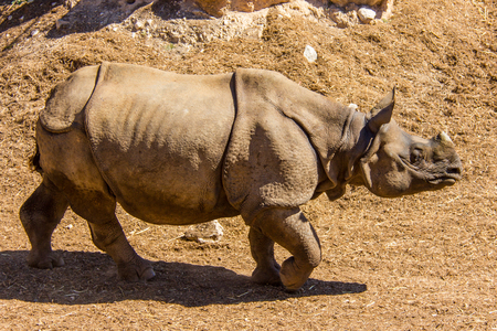 A great indian horned rhino (rhinoceros unicornis) grazing on the grass