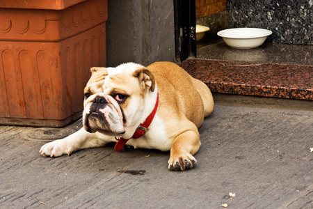 earnest: Serious bulldog on the Florences street.