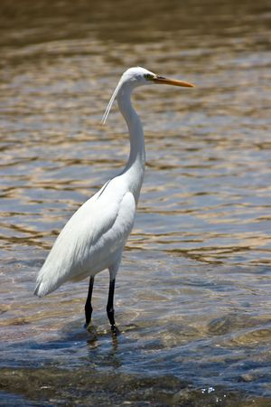 water wings: The heron in the waters of Red Sea