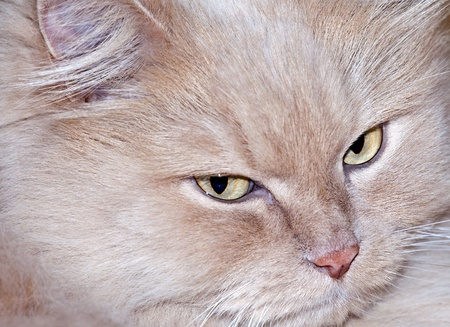 Smart face of persian cat wit yellow eyes photo