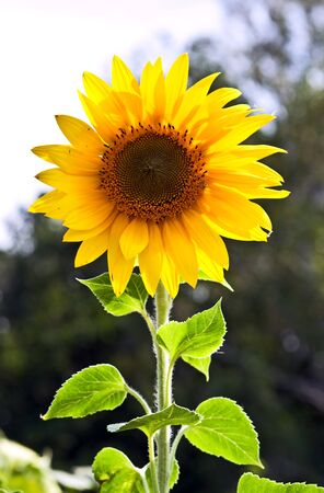 Beautiful sunflower in synny summer day Stock Photo - 10388880