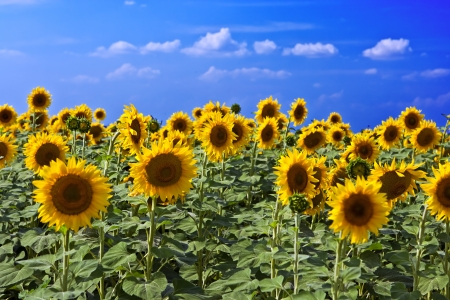 sunflower seeds: Beautiful sunflower field in sunny summer