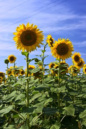 Beautiful sunflower field in sunny summer Stock Photo - 10392135