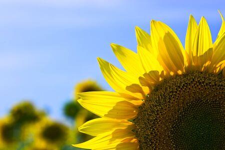 Beautiful sunflower field in sunny summer Stock Photo - 10388883
