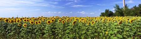 Beautiful sunflower field in sunny summer photo