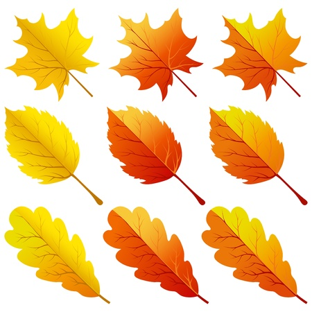 oak leaves: Collection of color autumn leaves. illustration.