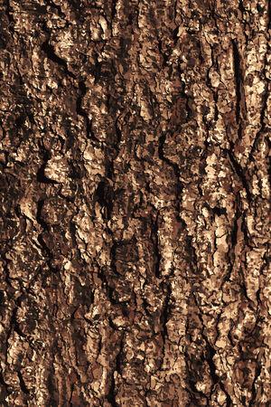 tree bark: Pine bark texture pattern.