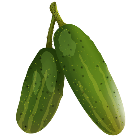 Two fresh cucumbers. EPS 10 vector illustration with transparency and mesh. Illustration