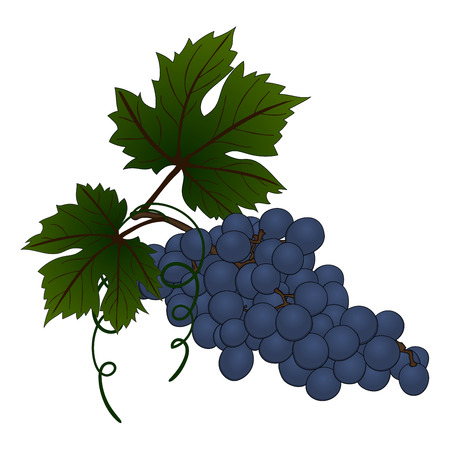 bunch of grapes: Grape branch. EPS 10 vector illustration without transparency and mesh.