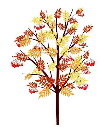 rowan: Autumn Rowan Tree With Leaves and Berries on White Background. Elegant Design with Ideal Balanced Colors. Vector Illustration.