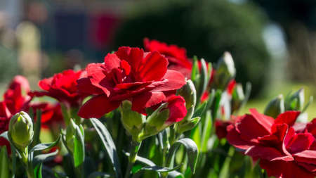 Red flowers with green leaves in sunshine