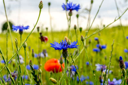 Cornflowers and poppy blossoms in front of a green cereal field at sunshine Stock Photo
