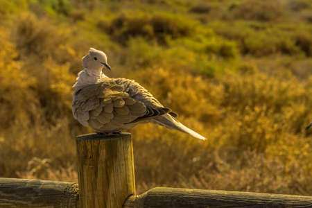 Pigeon sits on a wooden fence in sunshine. The background it colored blurry. Stock Photo