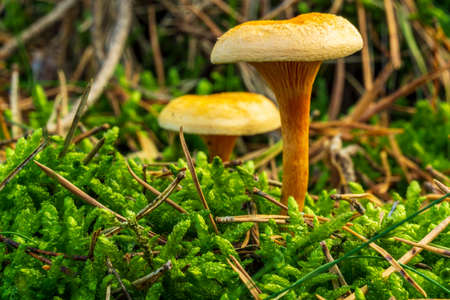 Mushrooms in the forest with moss as a close-up in the sunshine