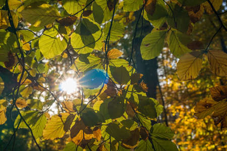 Looking through autumn-colored leaves to the sun with its sunbeams