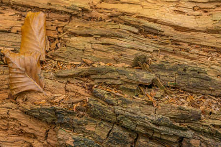 An old weathered tree trunk with autumnal leaves as a background 写真素材