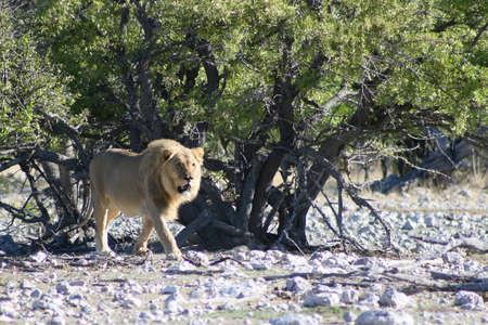 アフリカのライオン。パンテーラ レオ