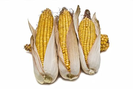 transgenic: Corncobs isolated on a white background.