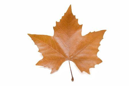 Autumn leaf isolated on white. Stock Photo - 6708539