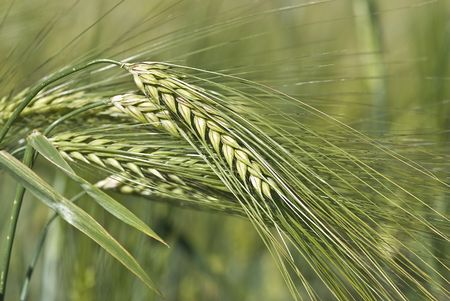 Green barley. photo