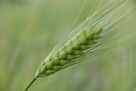 cebada: Cebada verde.