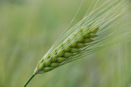 oat plant: Green barley.