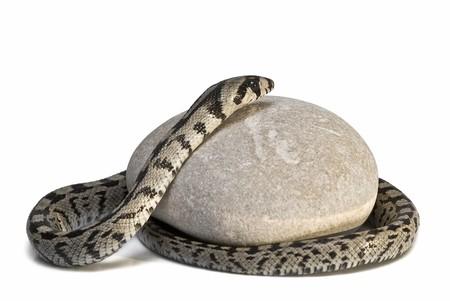 A snake on a stone. photo