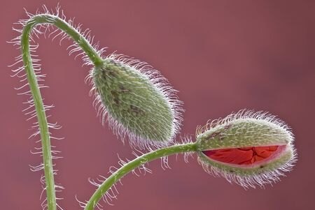 a bud: Poppies flourish.