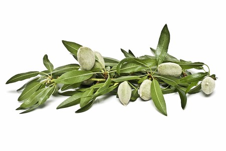 A branch with green almonds on a white background. photo