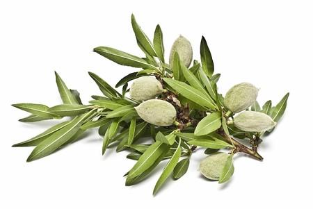 materia prima: Una rama con almendras verdes sobre un fondo blanco.  Foto de archivo