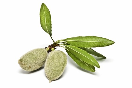 A branch with green almonds on a white background.