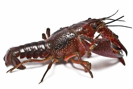 Crayfish on a white background. photo
