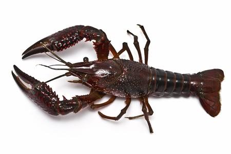 chitin: Crayfish on a white background. Stock Photo