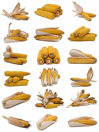 transgenic: Corncobs collection isolated on a white background. Stock Photo