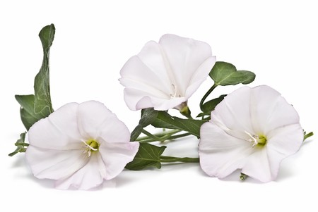 bindweed: White flowers isolated on a white background. Stock Photo