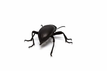 Black beetle isolated on a white background. photo