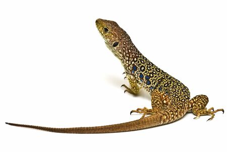Ocellated lizard isolated on a white background. photo