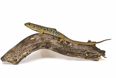 lacerta: Ocellated lizard on a branch.