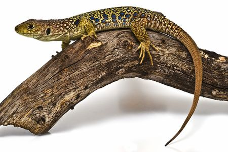 Ocellated lizard on a branch. photo