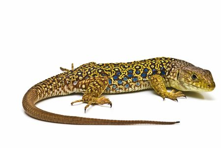 Ocellated lizard isolated on a white background.