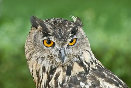 beak vulture: Owl.