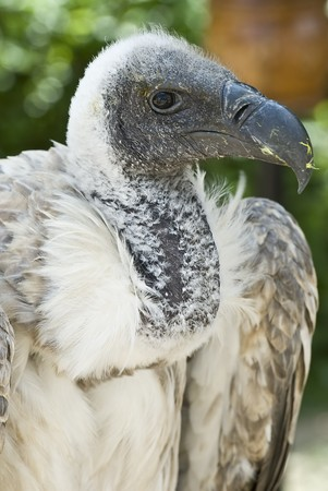 scavenging: Vulture. Stock Photo